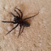 Une araignée noire
