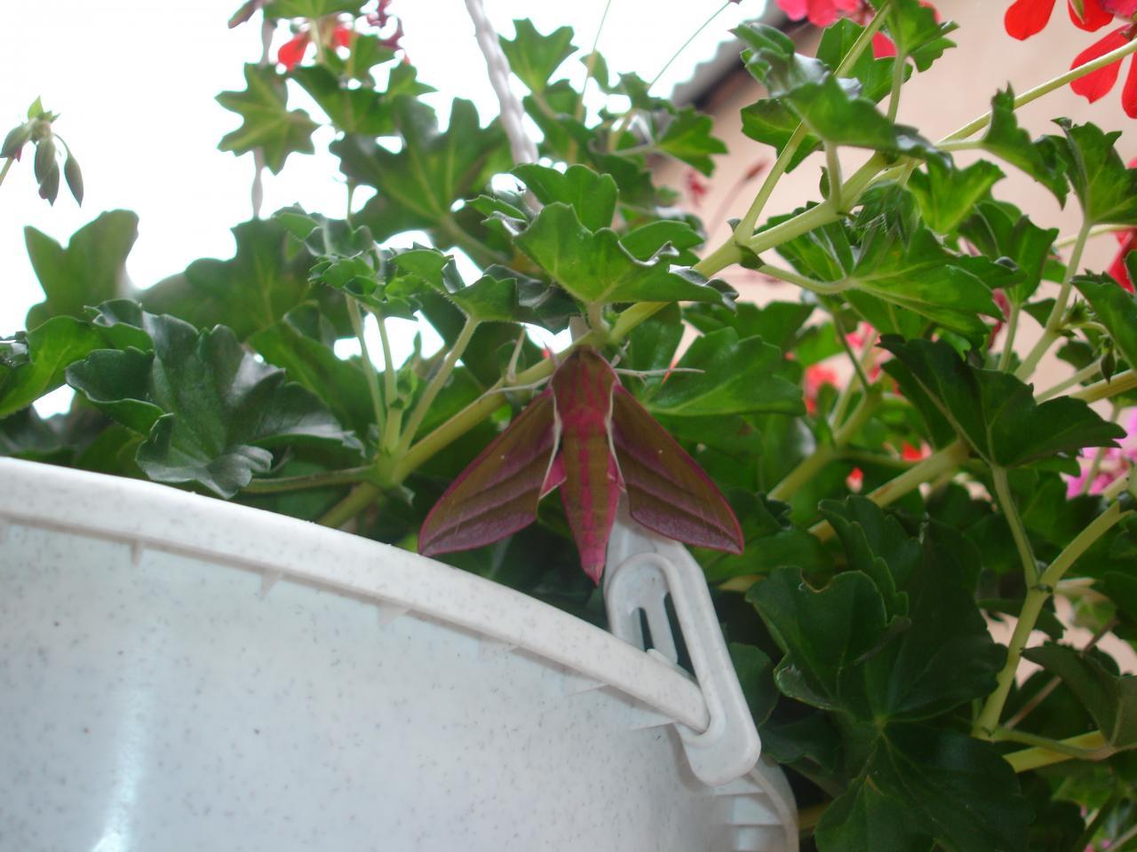 Papillon sur géranium