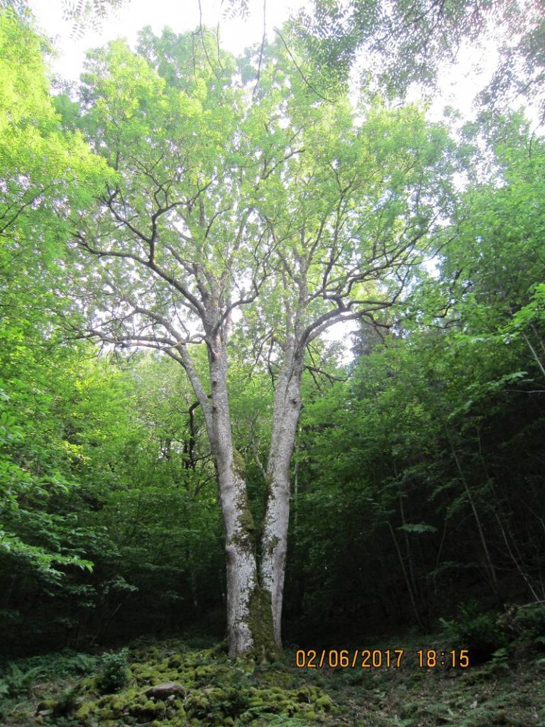 le frêne du Picastelle