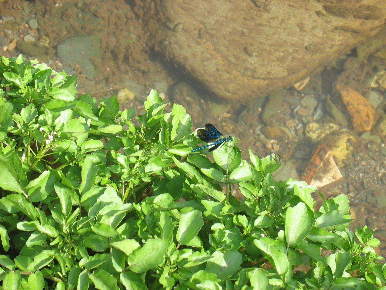 Une libellule bleue