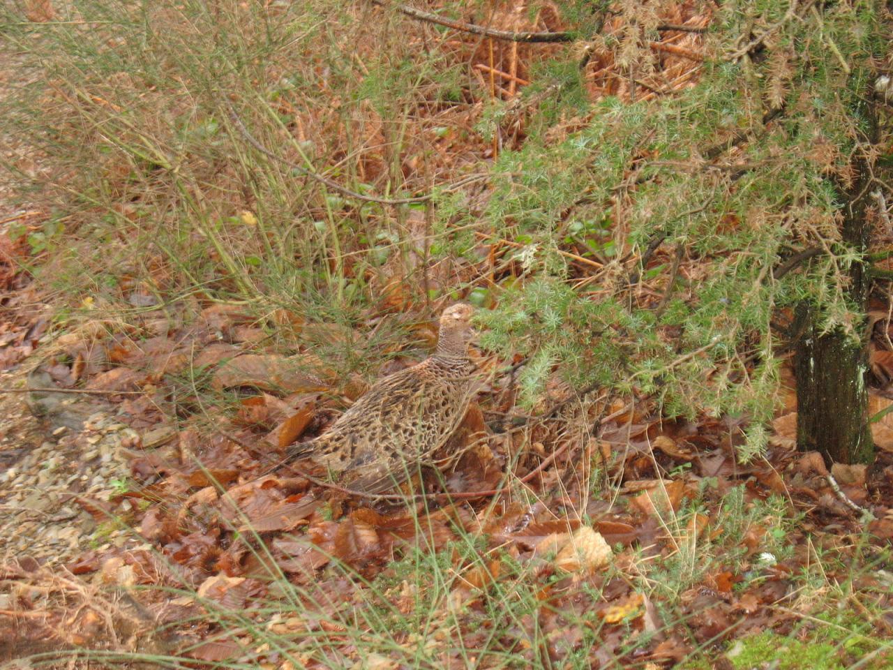 Une poule faisane